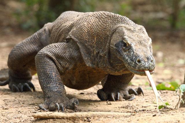 Комодский дракон чуть не откусил ноги туристу из Сингапура во время фотосессии